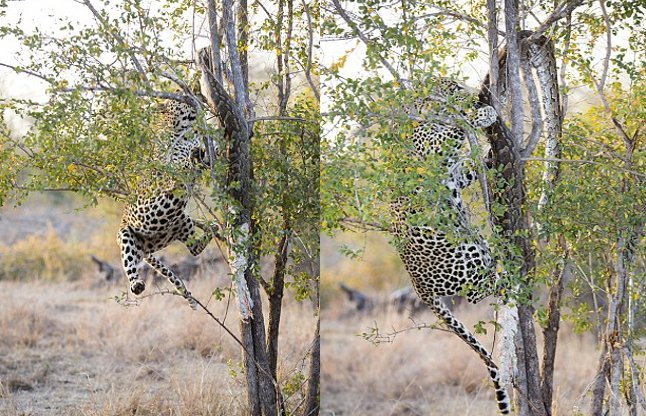 leopard-and-python-56aee6dd2acd0_l