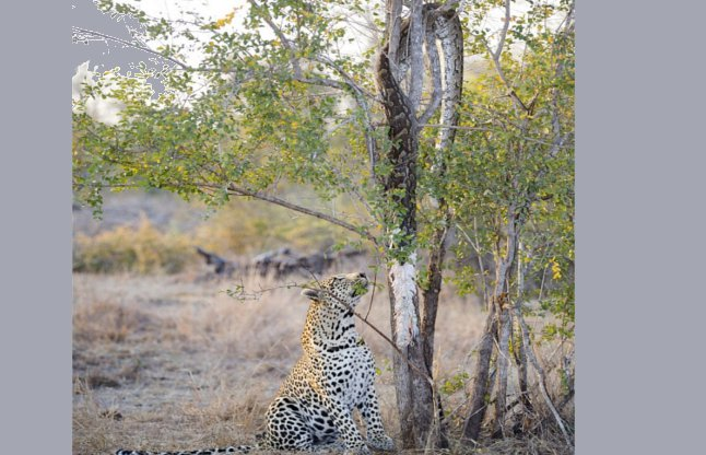 leopard-and-python-56aee72c9ecb9_l
