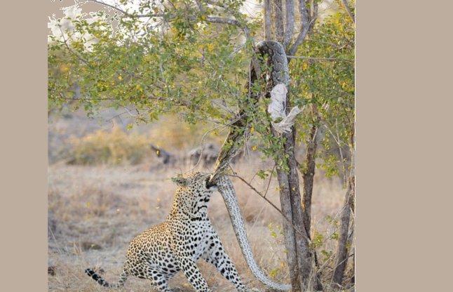 leopard-and-python-56aee775e7100_l